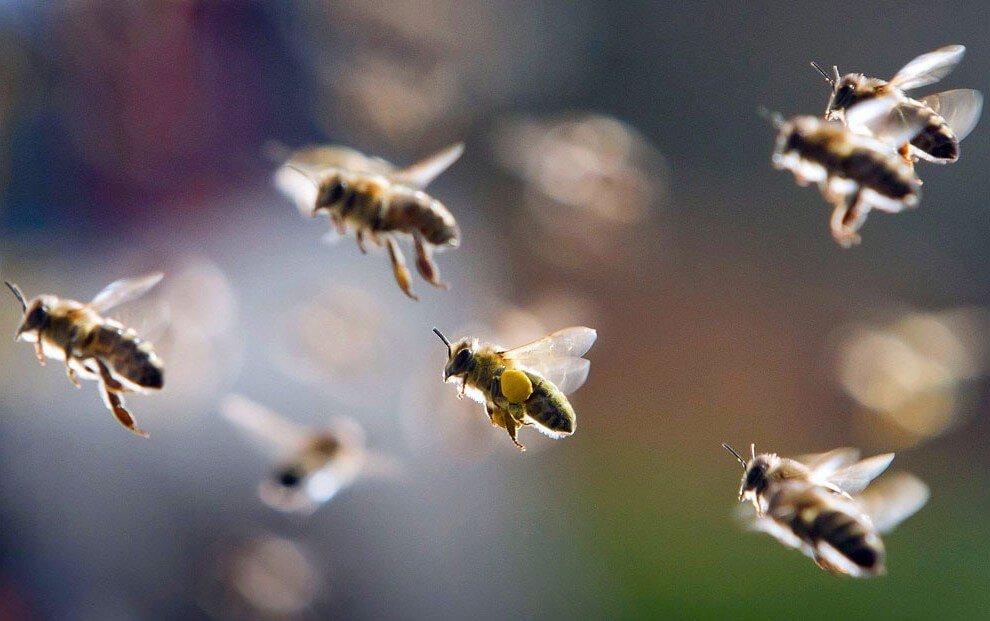 Как пчелы находят дорогу домой