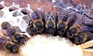Подкормка пчел в феврале смесью канди
