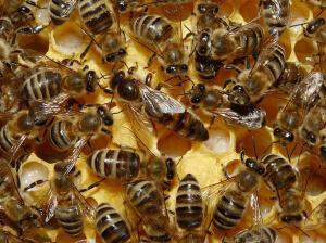 Пчелы породы краинка