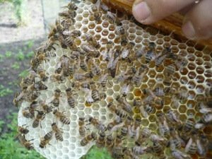 Пчела карника на сотах