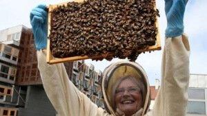 Пчелы породы бакфаст за работой