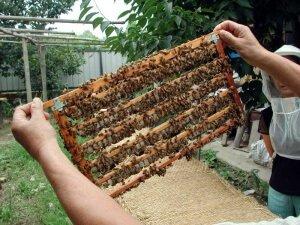 Рамка с пчелами бакфаст