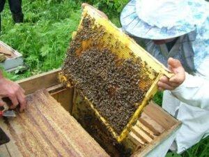 Сокращение гнезда пчел