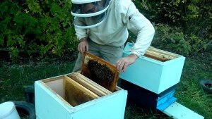 Ревизия пчелосемей