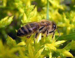 Среднерусская пчела на цветке