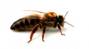 Пчеломатка породы Бакфаст