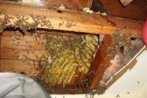 Пчелы в стене жилого дома