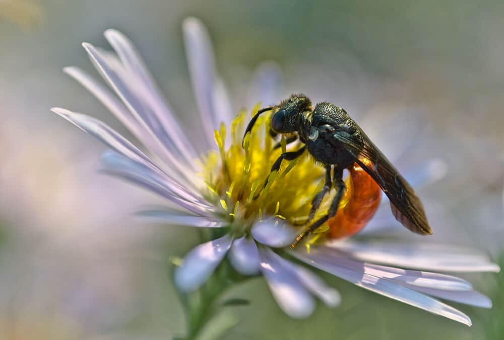 Земляная пчела Галикт сфекодес