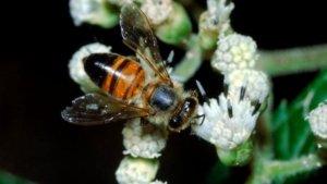 Внешний вид африканской пчелы убийцы