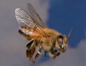 Африканская пчела в полете