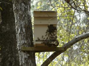 Ловля роев пчел