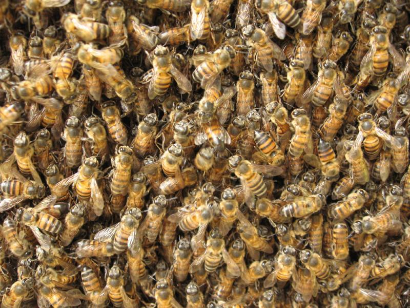 Рабочие пчелы на сотах