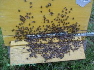 Больные пчелы малоактивны