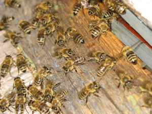 Пчелы гибнут от амебиаза