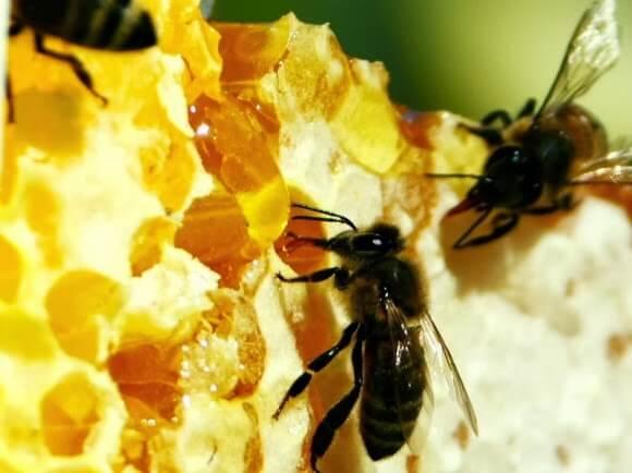 Применение багульника для пчел в домашних условиях