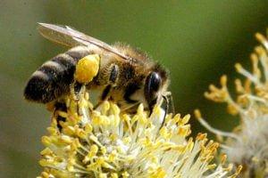 Пчела-карпатка