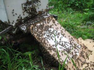 Борода из пчел возле улья
