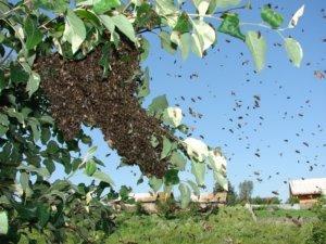 Пчелы роятся