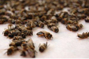 Больные пчелы