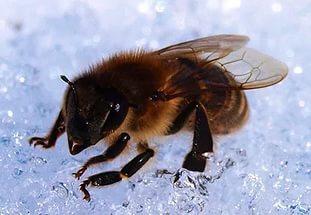 Что пчелы едят зимой— пыльцу, мед или подкормку?