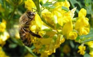 Пчела на цветке донника