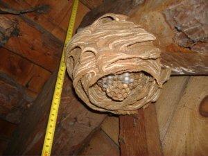 Гнездо древесных пчел