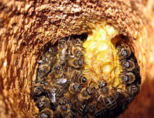 Пчелиный улей в дупле