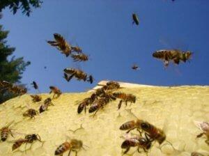 Пчелы воруют мед