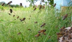 Вылет пчел