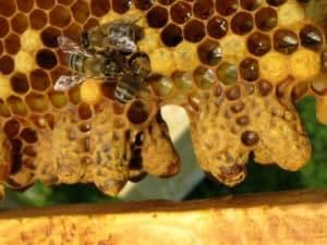 Вывод пчелиных маток в сильных семьях