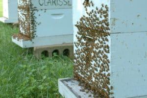 В жару пчелы покидают улей